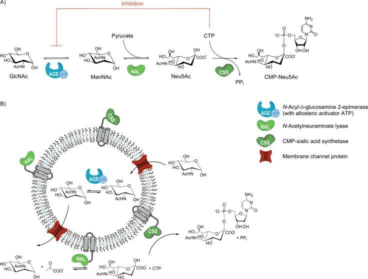 enzymaticsteps